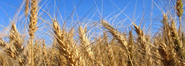 wheat-feild-in-front-of-blue-sky